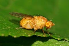 一小两翼白种人昆虫飞行Meiosimyza illo的宏指令 免版税图库摄影