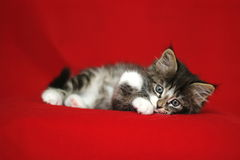 一小挪威小猫平纹灰色黑白在与盘前面腿的向前和殷勤眼睛的一个说谎的位置  免版税库存图片