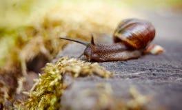 一小棕色蜗牛爬行 免版税库存图片