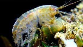 一小甲壳动物类Gammarus,捉住由小海葵属-侵略者Diadumene lineata 股票视频
