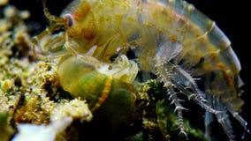 一小甲壳动物类Gammarus,捉住由小海葵属-侵略者Diadumene lineata 股票录像