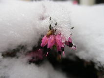 一小花onder每雪层数  库存图片
