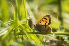 一小铜蝴蝶(Lycaena phlaeas)休息 免版税库存图片