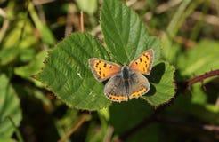一小铜蝴蝶Lycaena phlaeas在叶子栖息 库存图片
