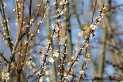 一小鸣鸟鸟Phylloscopus collybita基于分支 库存照片