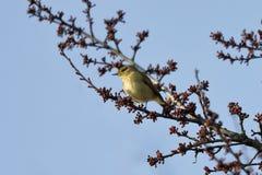 一小鸣鸟鸟Phylloscopus collybita基于分支 免版税库存图片