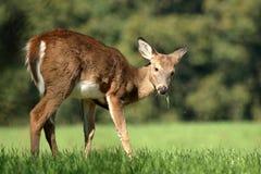 一岁白尾鹿小鹿 免版税库存图片