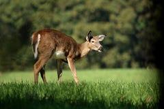 一岁白尾鹿小鹿 库存图片