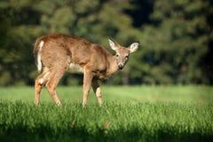 一岁白尾鹿小鹿 免版税库存照片
