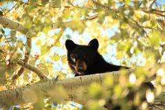 一岁黑熊 免版税库存照片