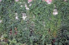一座古老城堡的大石墙,长满与巨型的常春藤在利沃夫州, Ukrain分支 免版税库存照片