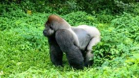 一座狂放的大猩猩大猩猩山在热带密林 库存照片