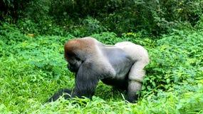 一座狂放的大猩猩大猩猩山在热带密林 免版税库存照片