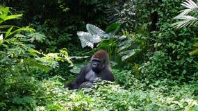 一座狂放的大猩猩大猩猩山在热带密林 图库摄影