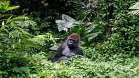 一座狂放的大猩猩大猩猩山在热带密林 免版税库存图片