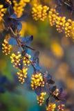 一开花的春天小蘖属ottawensis的分支 图库摄影