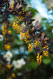 一开花的春天小蘖属ottawensis的分支 库存图片