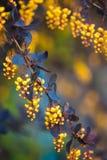 一开花的春天小蘖属ottawensis的分支 免版税库存图片