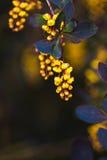 一开花的春天小蘖属ottawensis的分支 免版税库存照片