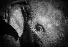 一张亚洲大象黑白照片的特写镜头画象 免版税库存图片
