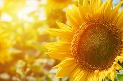 一张大黄色向日葵宏指令照片 食物生产,农村生活 免版税库存图片