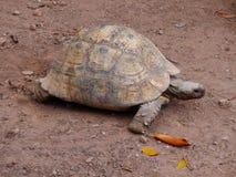 一张巨型大乌龟照片 图库摄影