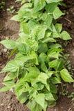 一张未加工的顶视图的豆植物 库存图片