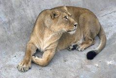 一张狮子画象,动物在石头放置 库存图片