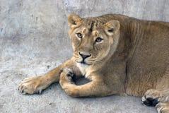 一张狮子画象,动物看照相机 库存图片