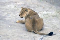 一张狮子画象 库存图片