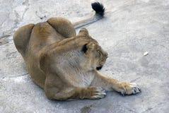 一张狮子画象 免版税库存图片