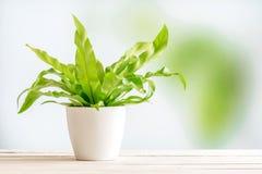一张白色花盆的绿色植物 图库摄影