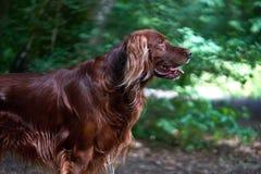 一张红色irisch安装员狗画象在森林里 库存照片