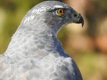 一张美丽的凝视和面孔的灰色鸟的老人实力 免版税库存照片