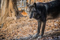 一张美丽的毛茸的黑狼面孔的画象 免版税库存图片