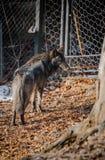 一张美丽的毛茸的黑狼面孔的画象 库存图片