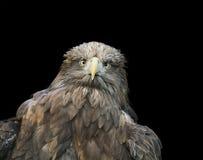 一张老鹰面孔的一只大棕色鸟的滑稽的画象在黑色的 库存图片