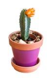 一张花盆的开花的仙人掌植物在白色 免版税库存照片