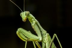 一张螳螂宏观画象 库存图片