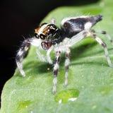 一张跳跃的蜘蛛侧视图 库存照片