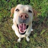 从一张顶视图的微笑的金黄拉布拉多猎犬 免版税图库摄影