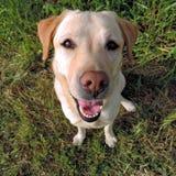 从一张顶视图的微笑的金黄拉布拉多猎犬 库存图片