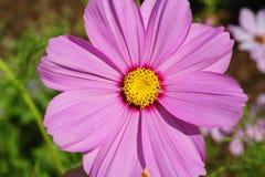 一张顶视图,宏观关闭在绽放的一朵紫色波斯菊花 免版税库存照片