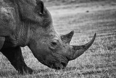 一张黑犀牛侧视图的黑白画象 免版税图库摄影