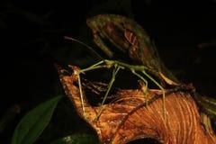 一恼怒的看起来的绿色棍子instect的宏观照片在一片死的叶子的 库存图片