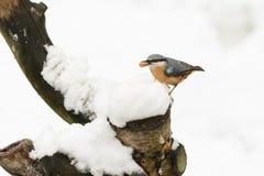 一惊人的五子雀五子雀类europaea的冬天场面在雪盖的一个老树桩栖息用在它的额嘴的一枚坚果 免版税库存图片