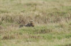 一惊人的沼泽猎兔犬马戏aeruginosus栖息在地面上的在英国,它自夸它的尾羽 库存照片