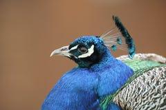 一惊人的男性孔雀孔雀座cristatus的特写 免版税图库摄影