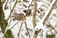 一惊人的红翼歌鸫画眉类iliacus的冬天场面在一棵木兰树的分支栖息在暴风雪的 分支是小海湾 免版税图库摄影