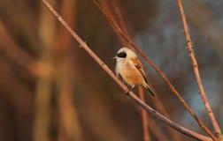 一惊人的罕见的Penduline山雀Remiz pendulinus在树的一个分支栖息 免版税库存图片